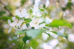 Apfelbaumblume Stockfotos