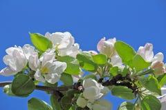 Apfelbaumblume und -himmel Stockfoto