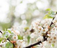 Apfelbaumblumen über Weiß Stockfotos