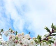 Apfelbaumblumen über Weiß Lizenzfreie Stockfotos