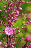 Apfelbaumblumen über Weiß Lizenzfreies Stockfoto