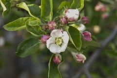 Apfelbaumblumen Lizenzfreies Stockfoto