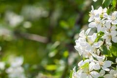 Apfelbaumblumen am Anfang des Frühlinges Stockfotografie
