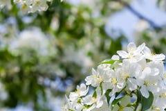 Apfelbaumblumen am Anfang des Frühlinges Lizenzfreie Stockbilder
