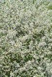 Apfelbaumblumen am Anfang des Frühlinges Lizenzfreies Stockbild