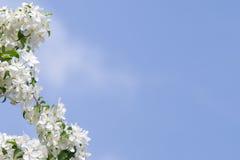 Apfelbaumblumen am Anfang des Frühlinges Stockfotos