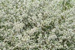 Apfelbaumblumen am Anfang des Frühlinges Lizenzfreie Stockfotografie