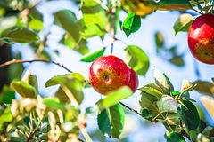 Apfelbaumobstgarten vor Ernte Stockbilder