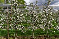 Apfelbaumplantage im Frühjahr Lizenzfreie Stockfotos
