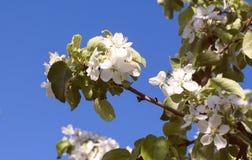 Apfelbaumzweig mit weißen Blumen Lizenzfreie Stockfotografie
