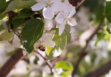 Apfelbaumzweig mit weißen Blumen Stockbild