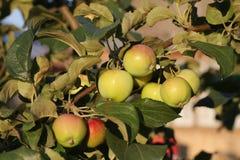 Apfelernte 2015 im Land Lizenzfreie Stockfotos