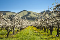 Apfelgärten im Frühjahr Stockfotografie