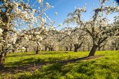 Apfelgärten im Frühjahr Lizenzfreie Stockbilder