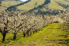 Apfelgärten im Frühjahr Lizenzfreie Stockfotografie
