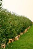 Apfelgarten Lizenzfreie Stockfotografie