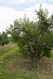 Apfelgarten Stockbild