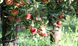 Apfelgarten bereit zur Ernte lizenzfreies stockbild