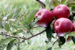 Apfelgarten bereit zur Ernte lizenzfreie stockbilder