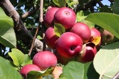 Apfelgarten-Frucht Stockfotos