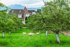 Apfelgarten mit dem Weiden lassen von Schafen Lizenzfreie Stockfotografie