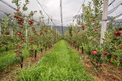 Apfelgarten mit Schutznetzen Merano, Italien Stockfotos