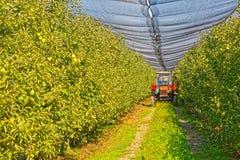 Apfelgartenerntezeit Lizenzfreies Stockfoto