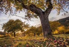 Apfelorchideenwiese im Herbstsonnenunterganglicht Stockbild