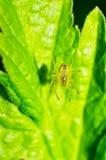 Aphantochilidae Stock Image