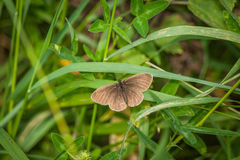 Aphantopus hyperanthus butterfly in a garden Royalty Free Stock Photography
