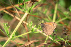 Aphantopus hyperanthus butterfly on a leaf Royalty Free Stock Photography