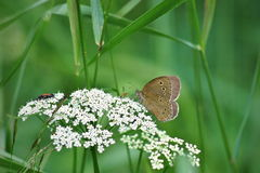 Aphantopus hyperanthus butterfly. Wildlife of middle Europe meadows, lakes and forests Royalty Free Stock Photo