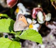 Aphantopus hyperantus,在一紫色flowe的棕色卷发蝴蝶 库存图片
