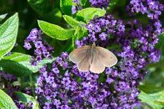 Aphantopus hyperantus,在一紫色flowe的棕色卷发蝴蝶 免版税库存照片