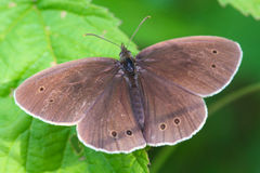 Aphantopus hyperantus Royaltyfri Bild