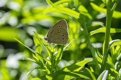 Aphantopus hyperantus beautiful butterfly on plant branches, ringlet insect sitting on leaves stock image