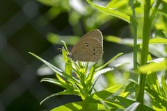 Aphantopus hyperantus beautiful butterfly on plant branches, ringlet insect sitting on leaves. In sunlight royalty free stock photos