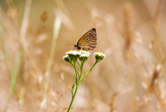 Aphantopus hyperantus, brown forest bird butterfly Stock Images