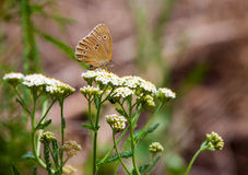 Aphantopus hyperantus, brown forest bird butterfly Stock Photo