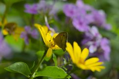 Aphantopus hyperantus butterfly sitting on the yellow flowers of sunflower aster family, Chrysopsis known as golden. Asters or Heterotheca villosa, macro close royalty free stock photos