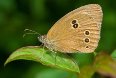 Aphantopus hyperantus Stock Images