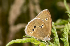 Aphantopus hyperantus, Ringlet butterfly from Lower Saxony, Germany Royalty Free Stock Photography