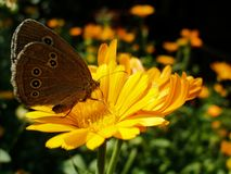 Ringlet butterfly sitting on Marigold flower. Aphantopus Hyperantus - Ringlet butterfly sitting on yellow Marigold flower during sunny summer day Royalty Free Stock Images