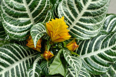 Aphelandra in nursery Stock Photography