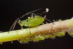 Aphid Royalty Free Stock Image