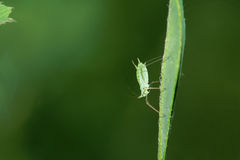 Aphid. A large green aphid stands on leaf Royalty Free Stock Image