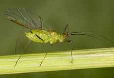 Aphid Stock Image