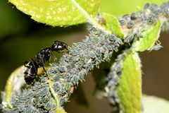 The aphid and the ant. Close-up royalty free stock photography