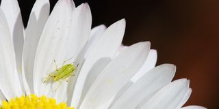 Aphid on daisy flower petals Royalty Free Stock Image