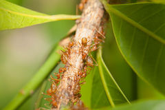 Aphid-Herding Ants Royalty Free Stock Photos